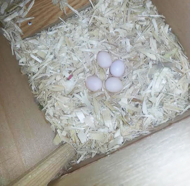 Eggs in a nest box
