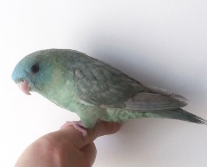 Double Factor Greywing (Dilute) Turquoise Male